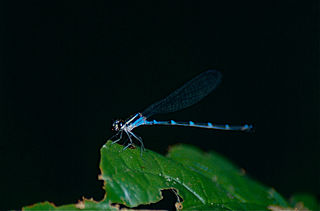 <i>Acanthagrion</i> genus of insects