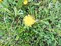 Dandelion (in the North of Sakhalin) 01.jpg