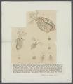 Daphnia pulex - - Print - Iconographia Zoologica - Special Collections University of Amsterdam - UBAINV0274 099 06 0002A.tif