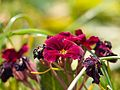 Dark red Primula close-up.jpg