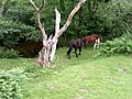 Dartmoor ponies - panoramio.jpg