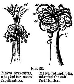 FIG. 28. Malva sylvestris, adapted for insect-fertilisation. Malva rotundifolia, adapted for self-fertilisation.