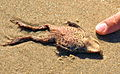 Dead frogs on Grenen beach sand.JPG