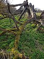 Dead tree and moss at Bush End, Hatfield Broad Oak, Essex, England.jpg