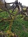 Dead tree and moss at Bush End, Hatfield Broad Oak, Essex, England.jpg