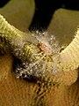 Decorator crab covered in anemones on Ianthella basta (Elephant ear sponge).jpg
