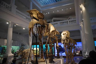 Deinotherium - Deinotherium giganteum in the Grigore Antipa National Museum of Natural History, Bucharest, Romania.