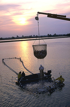 Photo of dripping, cup-shaped net, approximately 6 feet (1.8m) in diameter and equally tall, half full of fish, suspended from crane boom, with four workers on and around larger, ring-shaped structure in water