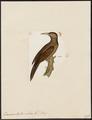 Dendrocolaptes validus - 1820-1860 - Print - Iconographia Zoologica - Special Collections University of Amsterdam - UBA01 IZ19200219.tif