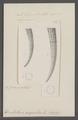 Dentalium arcuatum - - Print - Iconographia Zoologica - Special Collections University of Amsterdam - UBAINV0274 081 10 0043.tif
