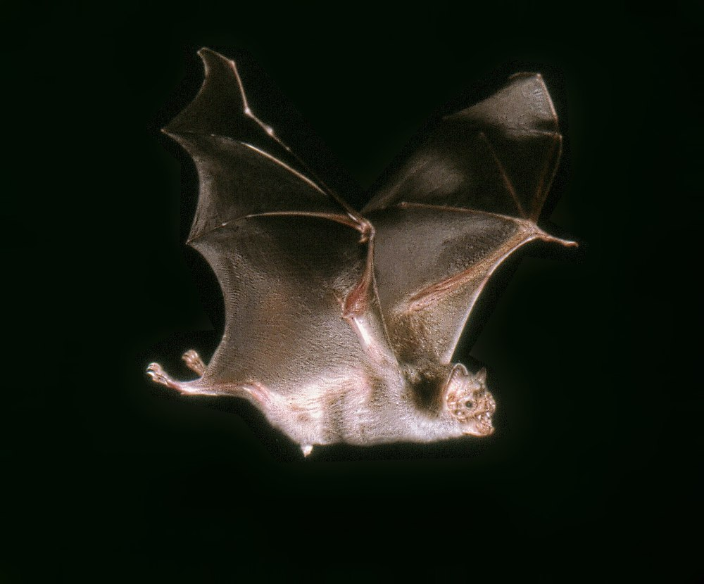 The average litter size of a Common vampire bat is 1