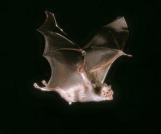 Common vampire bat species of mammal