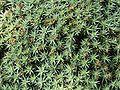 Deuterocohnia brevifolia 02 ies.jpg
