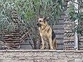 Deutscher Schäferhund, Tiflis 1.jpg