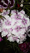 Dianthus barbatus - γαρύφαλλο των ποιητών.jpg