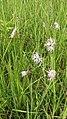Dianthus superbus 101.jpg