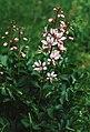 Dictamnus albus 2.jpg