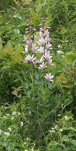 Dictamnus albus 230504.jpg