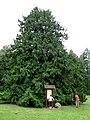 Didžiausia ir seniausia didžioji tuja Lietuvoje - panoramio.jpg