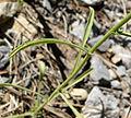 Dieteria canescens var canescens 12.jpg