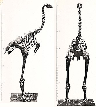 Dinornis - D. struthoides skeleton, now known to be a male Dinornis, not a distinct species