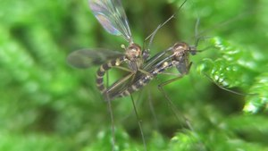 File:Ditomyia fasciata in copula - 2013-10-07.webm