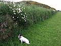 Dog daisies - geograph.org.uk - 812773.jpg