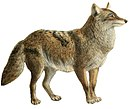 Dogs, jackals, wolves, and foxes (Plate IX).jpg