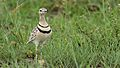Double-banded courser (two-banded courser), Smutsornis africanus, at the Khama Rhino Sanctuary, Botswana (33875337466).jpg
