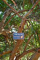 Dracaena cambodiana-Me Cung Cave (2).jpg
