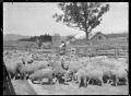Drafting sheep at the Mendip Hills sheep run. ATLIB 284003.png