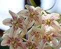Dregea sinensis - Fleurs.jpg