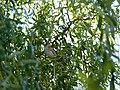 Drozd pevač (Turdus philomelos ); Song Thrush1.jpg