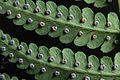 Dryopteris marginalis2.jpg