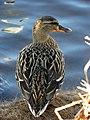 Duck, Enniskillen (5) - geograph.org.uk - 1748818.jpg