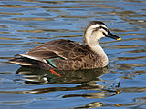 Subspecies seen is most likely: Eastern Spot-billed Duck (A. p. zonorhyncha).