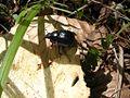 Dung beetle2.jpg
