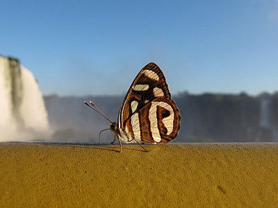 Small-eyed sailor butterfly (Dynamine artemisia) feeding on a handrail in the Iguaçu National Park, Brazil. On the background, the Iguazu falls.