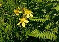 Dziurawiec zwyczajny (Hypericum perforatum L.) 01.jpg