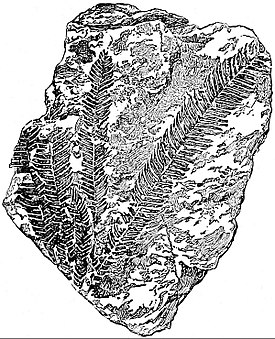 EB1911 Palaeobotany - fronds of Williamsonia pecten.jpg