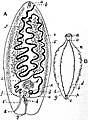 EB1911 Tapeworms - reproductive systems of Amphilina foliacea and Amphiptyches urna.jpg