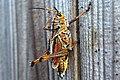 Eastern Lubber Grasshopper (258758523).jpeg