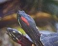 Eastern Painted Turtle (4500631005).jpg