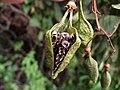 Eccremocarpus scaber1.jpg