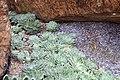 Echeveria elegans 1zz.jpg