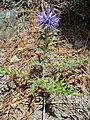 Echinops ritro 0001.jpg