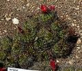 Echinopsis hertrichiana 1.jpg