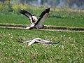 Egptian Vultures I2-Haryana IMG 8921.jpg