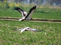 Egptian Vultures I2-Haryana IMG 8921