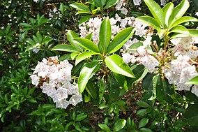 ElliottLaurel Blooming03.jpg